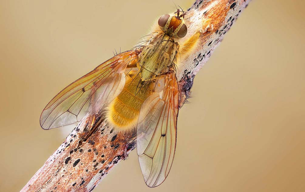 macro, Scathophaga stercoraria, regayip