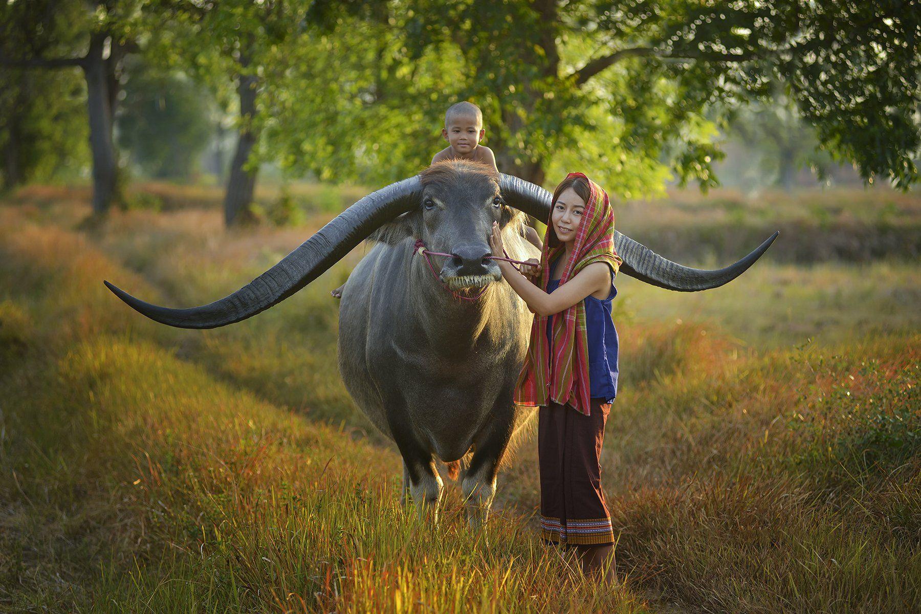 Asia, Asian, Beauty, Buffalo, Child, Children, China, Field, People, Sunlight, Sunrise, Sunset, Thailand, Woman, Saravut Whanset