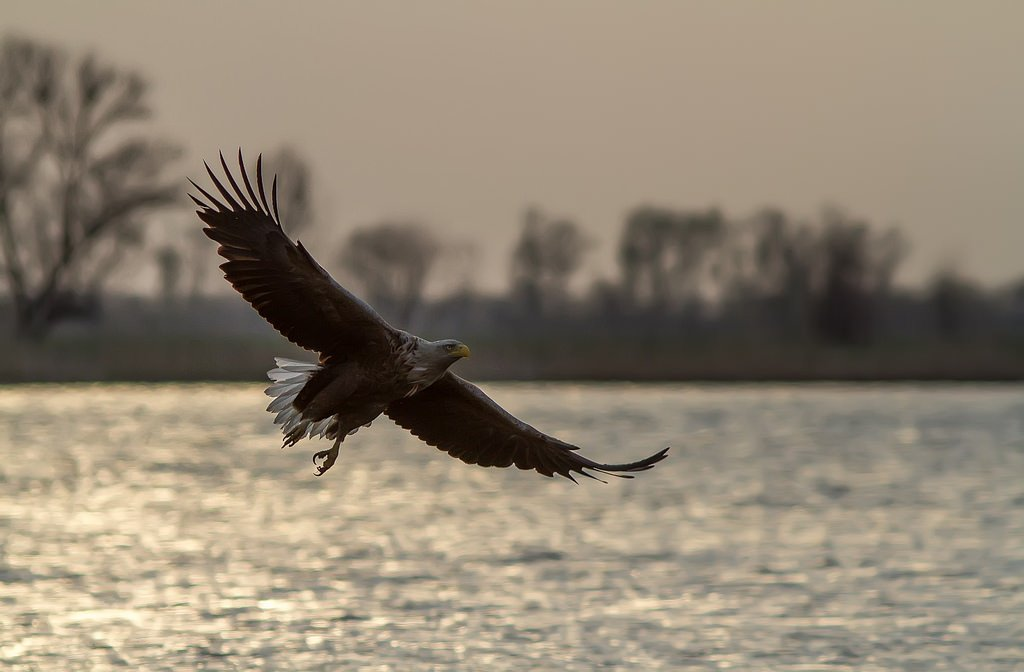 Орлан, белохвост, орел, Волга, Тесленко Игорь