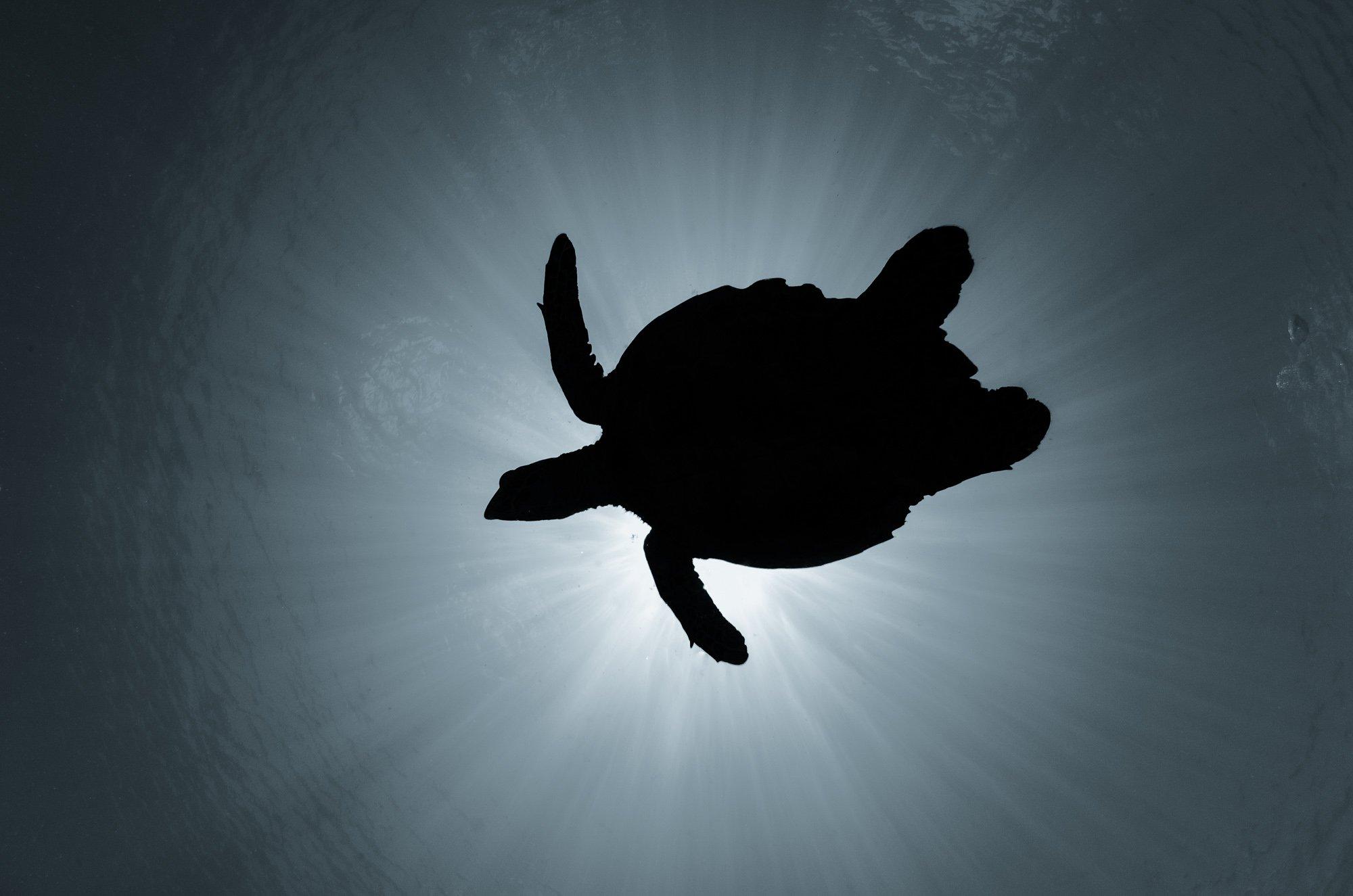 черепаха, природа, животные, подводой, дикая природа, солнечные лучи, подводный мир, Дмитрий Старостенков