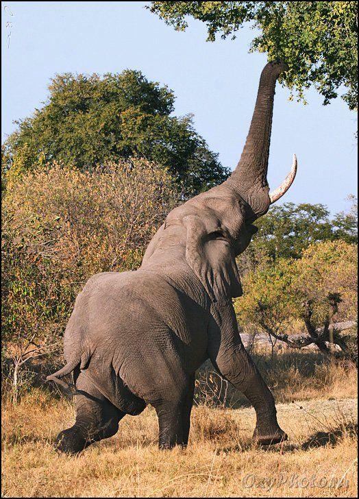 africa, botswana, okavango delta, африка, ботсвана, дельта окаванго, слон африканский, loxodonta africana, Оксана Борц