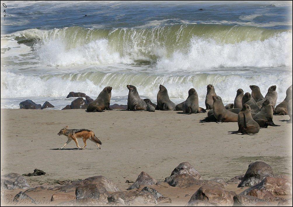 africa, arktocephalus pusillus, namibia, африка, котик морской южный, котик морской южноафриканский, намибия, atlantic, атлантика, шакал чепрачный, canis mesomelas, Оксана Борц