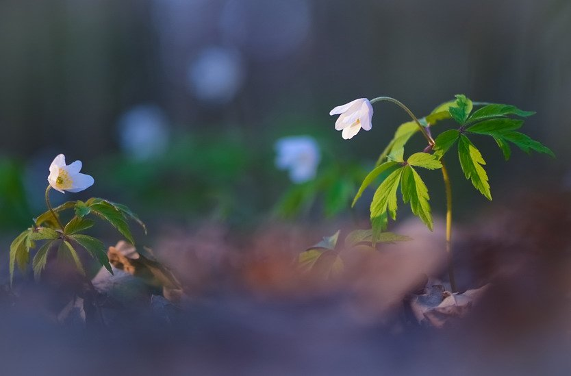 Весна, Ветреница, Лес, Цветы, Марина Мищенко