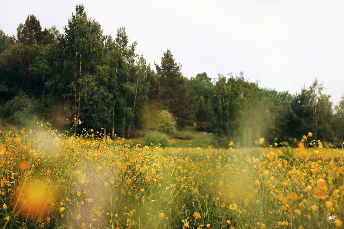 цветы, поле, лес, день, трава, луг, жарки, Роман Золотой