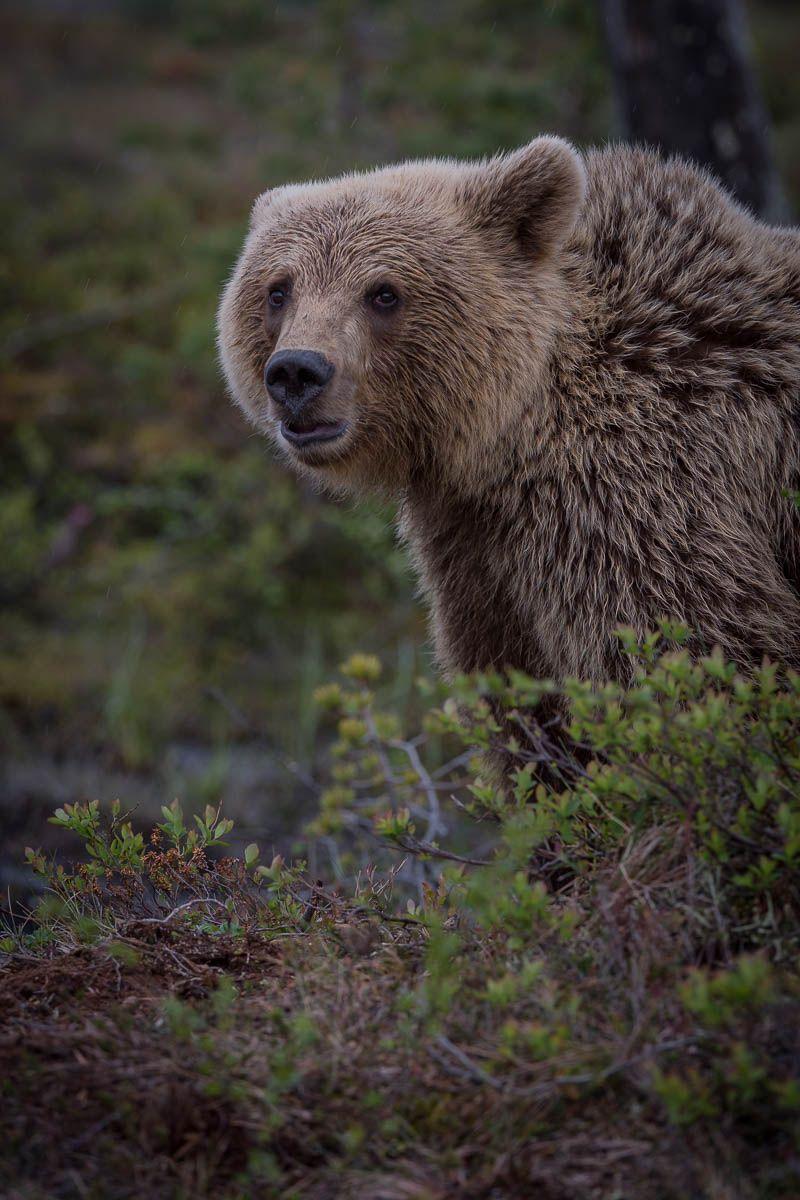 бурые медведи, природа, дикая природа, животные, Карелия, лес, Анна Яценко