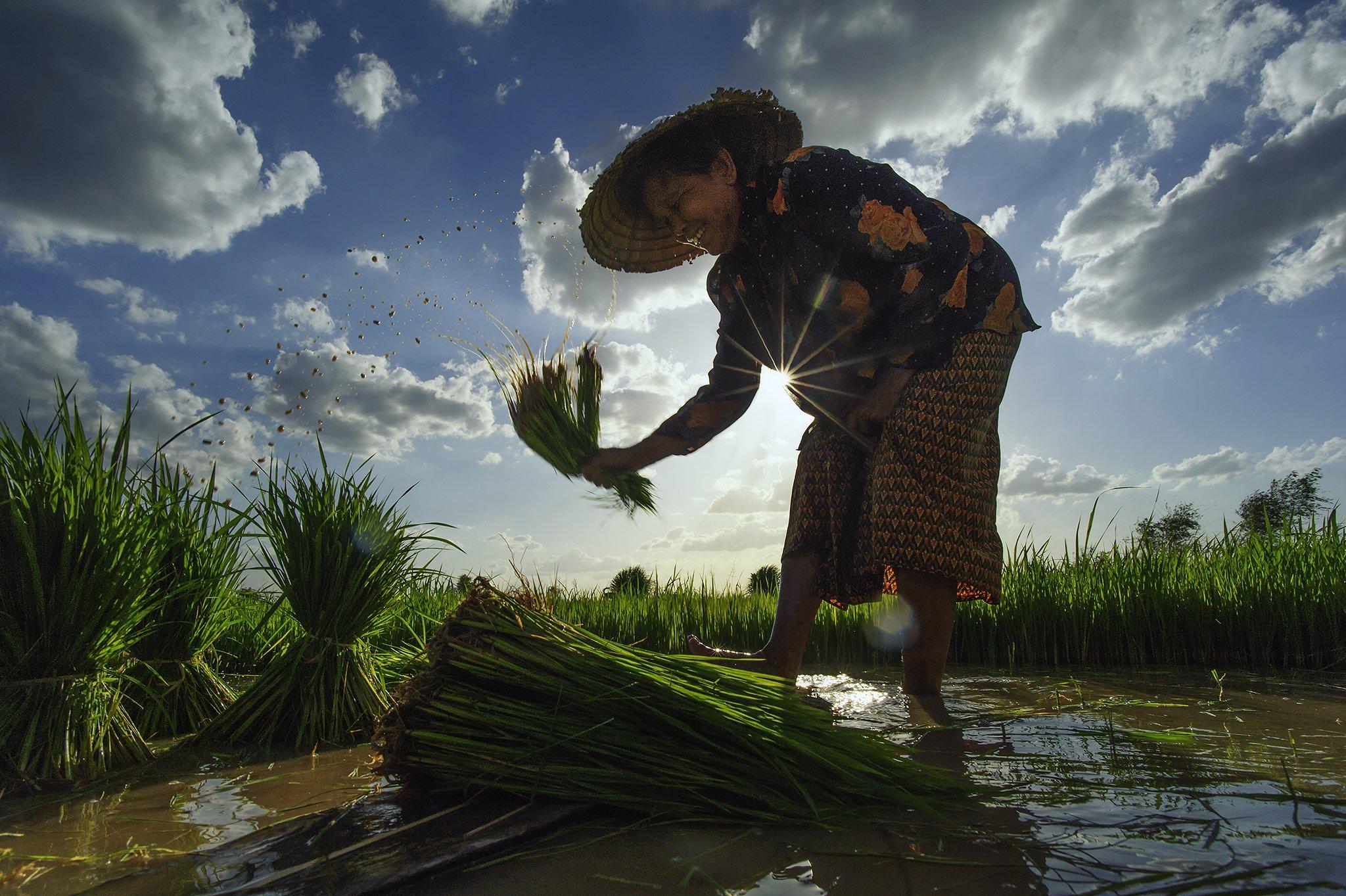 Asia, Asian, Farmer, Green, Light, Paddy, Rice, Sky, Water, Saravut Whanset