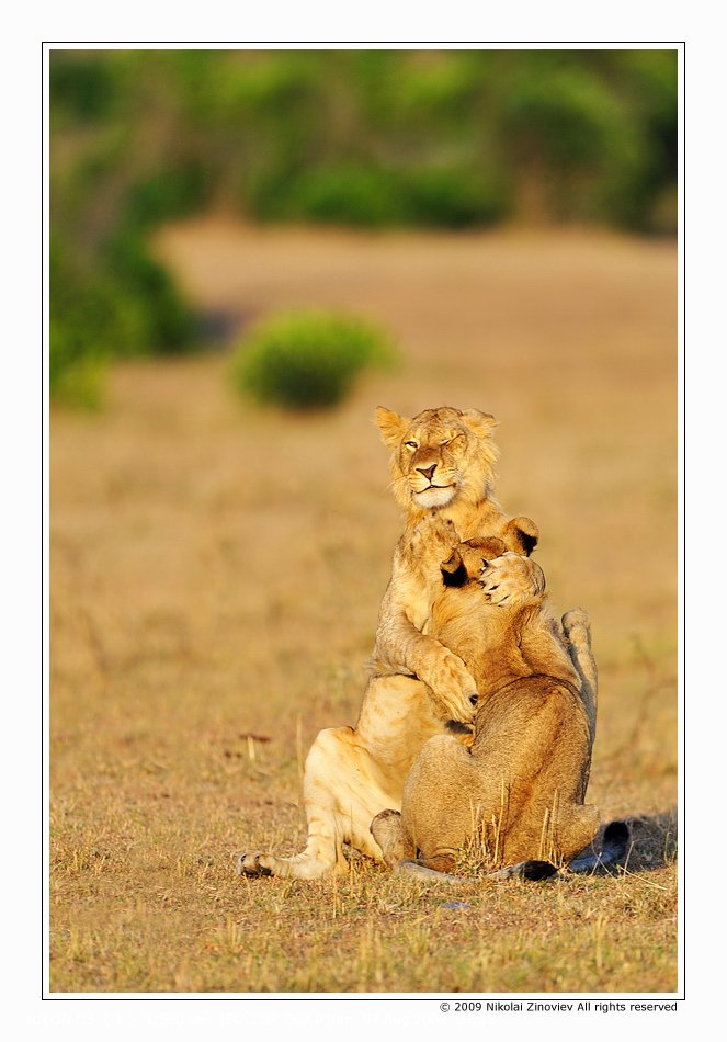 африка, лев, животные, Николай Зиновьев