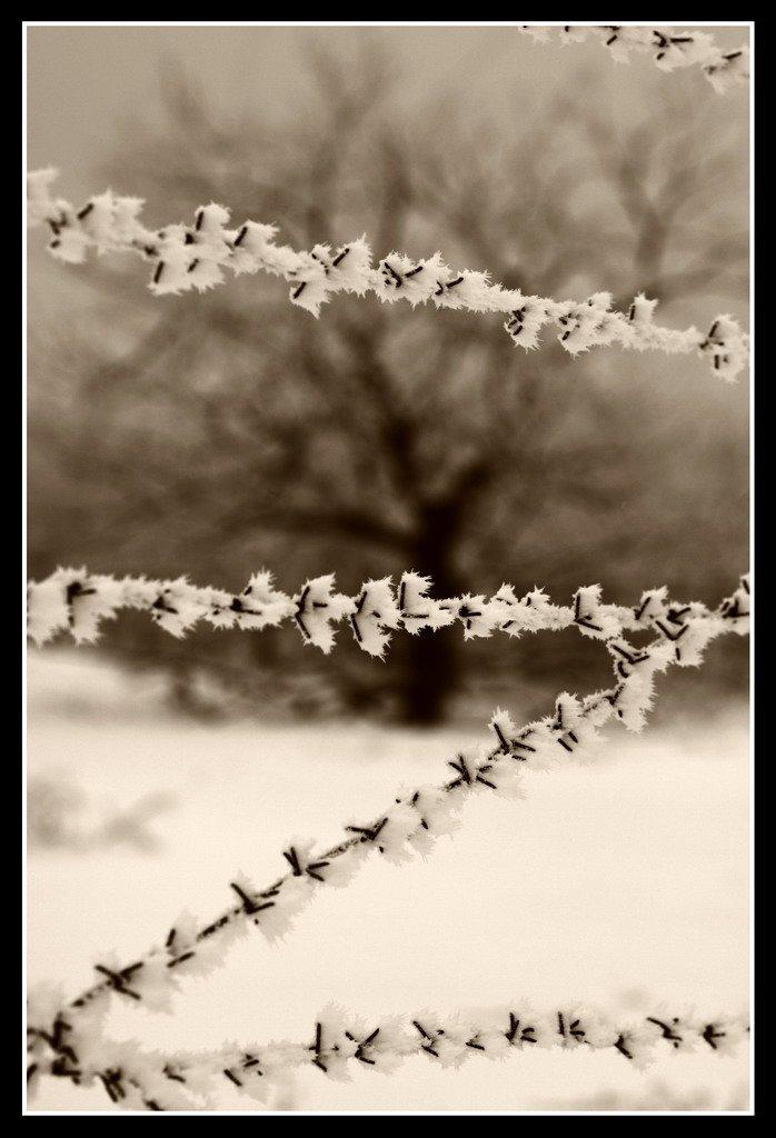 колючая проволока, дуб, зима, Андрей(AWERS)