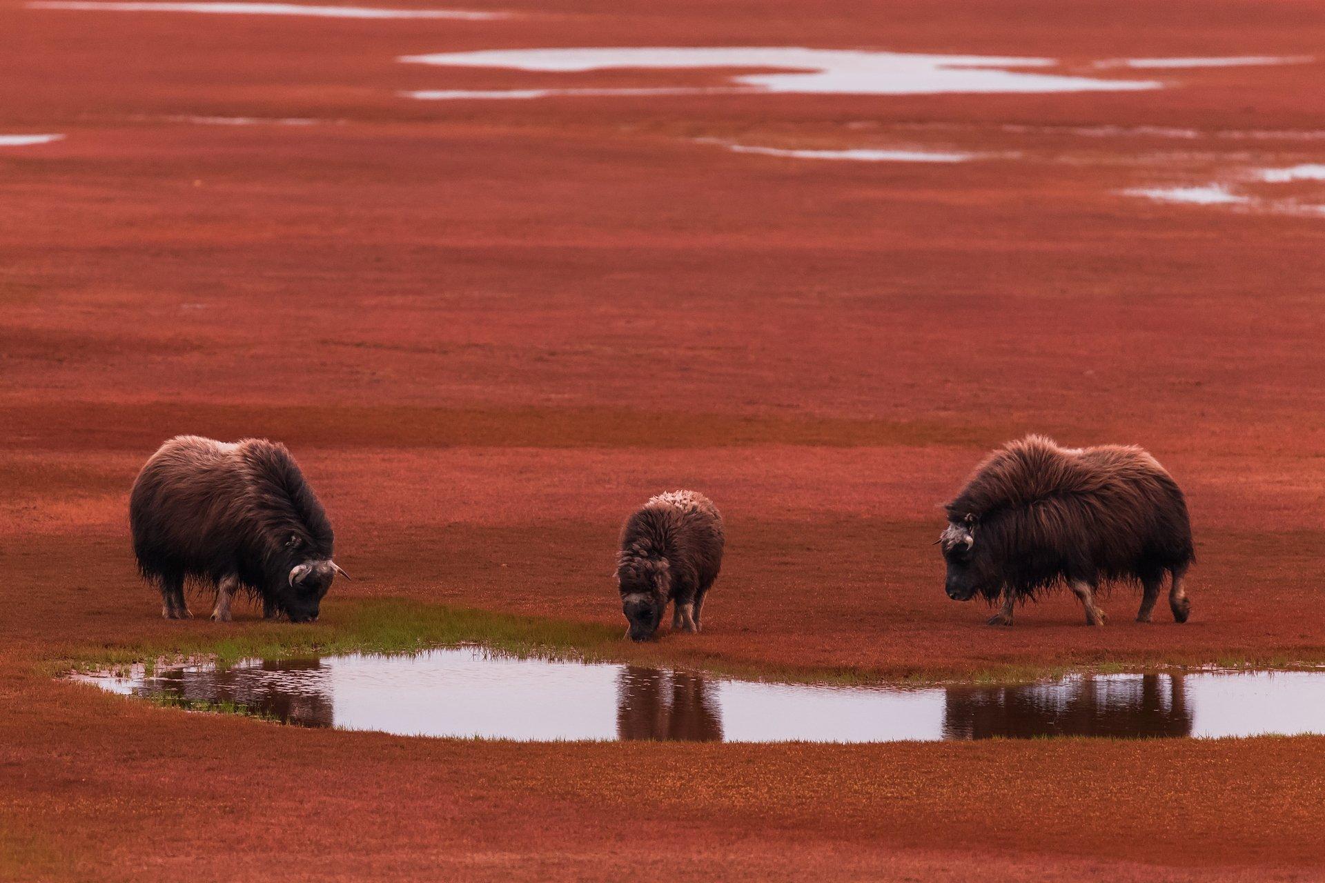 овцебык,тундра,арктика,якутия,море лаптевых,остров большой бегичев, Кирилл Уютнов