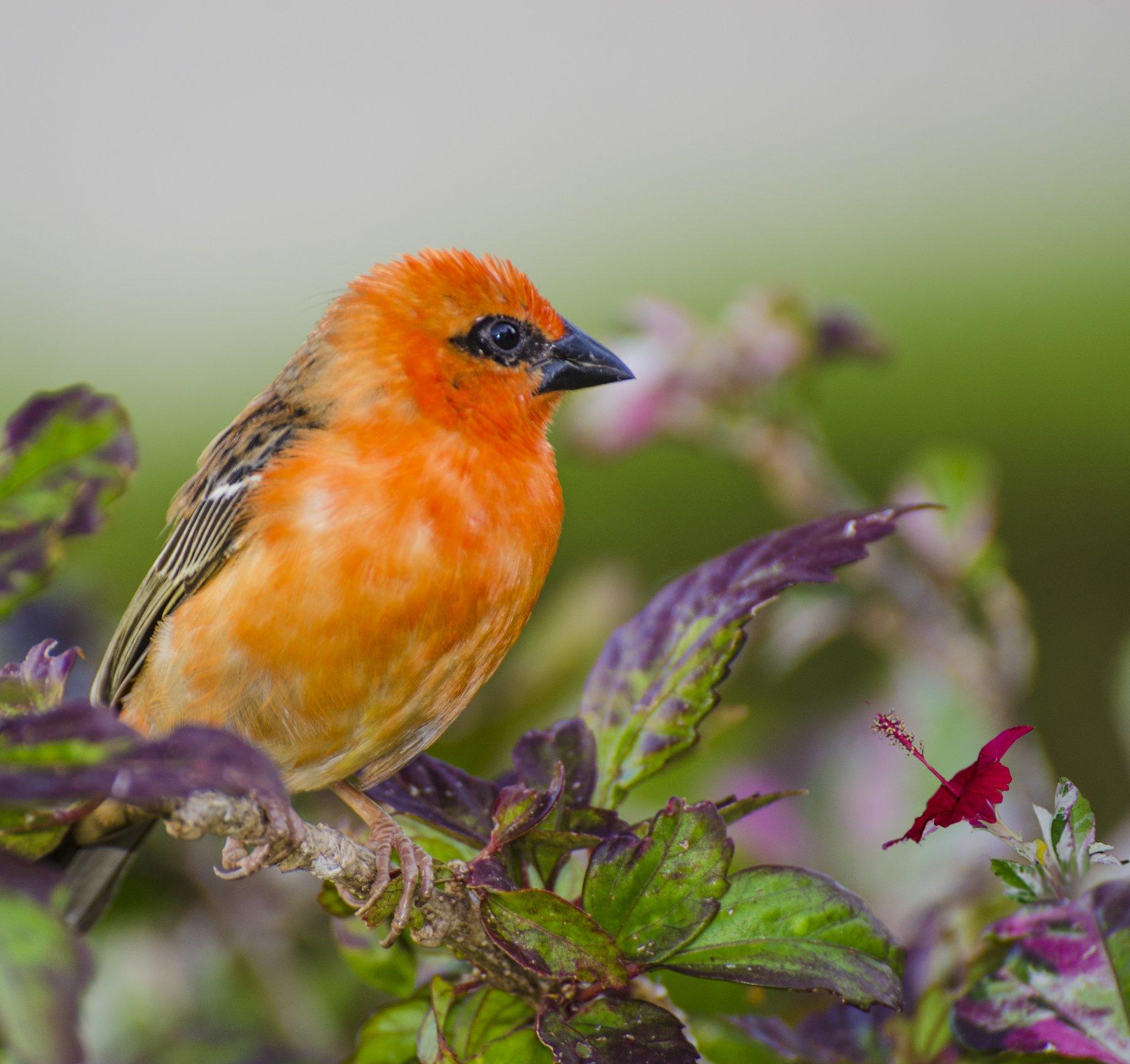 птица, оранжевая. красная, пёстрая, экзотика, тропики, Марина Мудрова