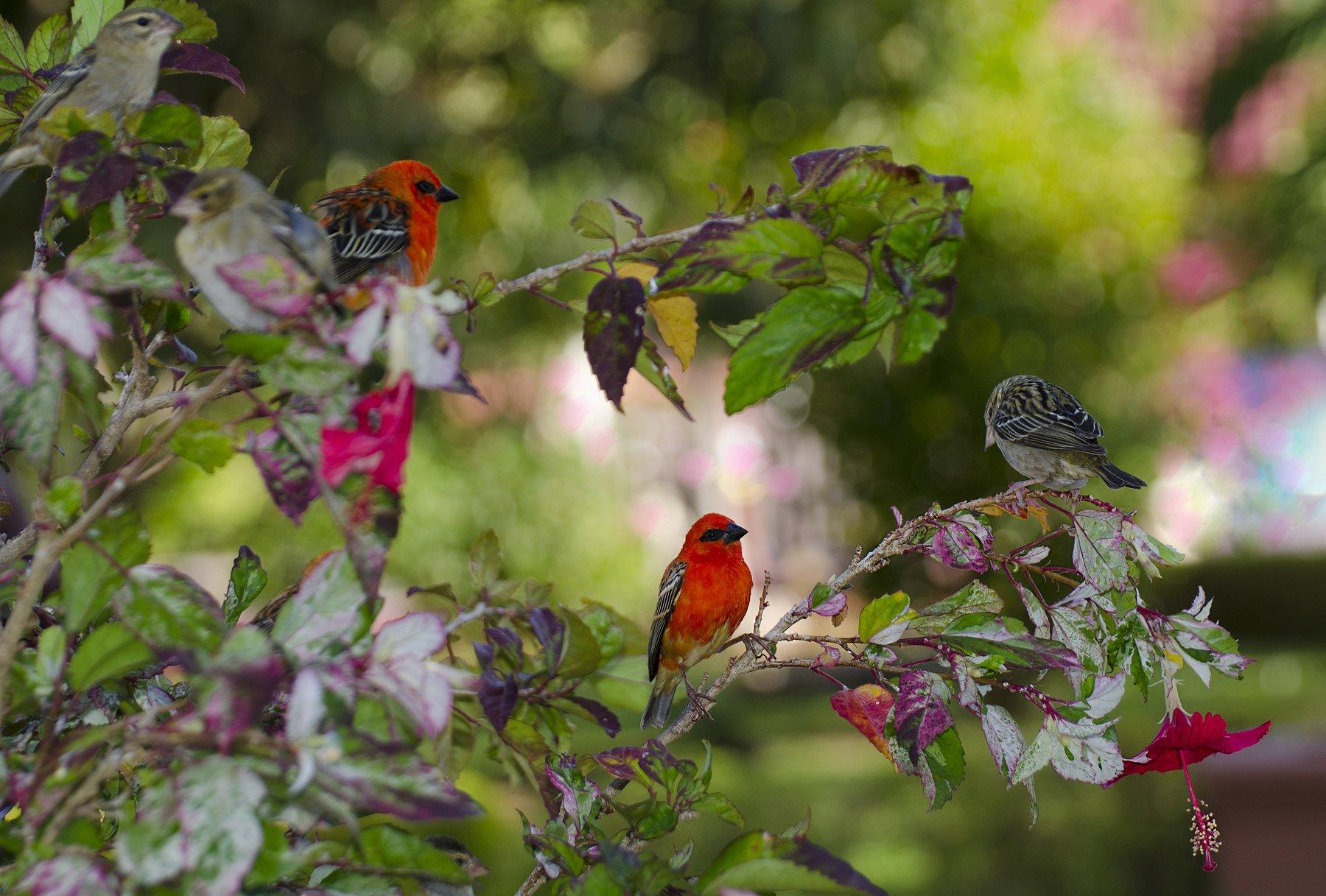 яркие, красные, тропические, экзотика, самки, самцы, гибискус, красный цветок, ветка, птицы на ветке, Марина Мудрова