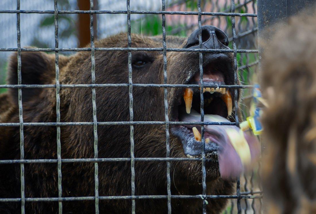 зоопарк, медведь, сгущёнка, голод, лакомка, Александр Авилов
