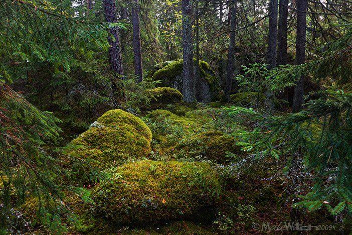 forest, landscape, tree, glade, pine, сосны, лес, поляна, пейзаж, деревья, Максим Малевич