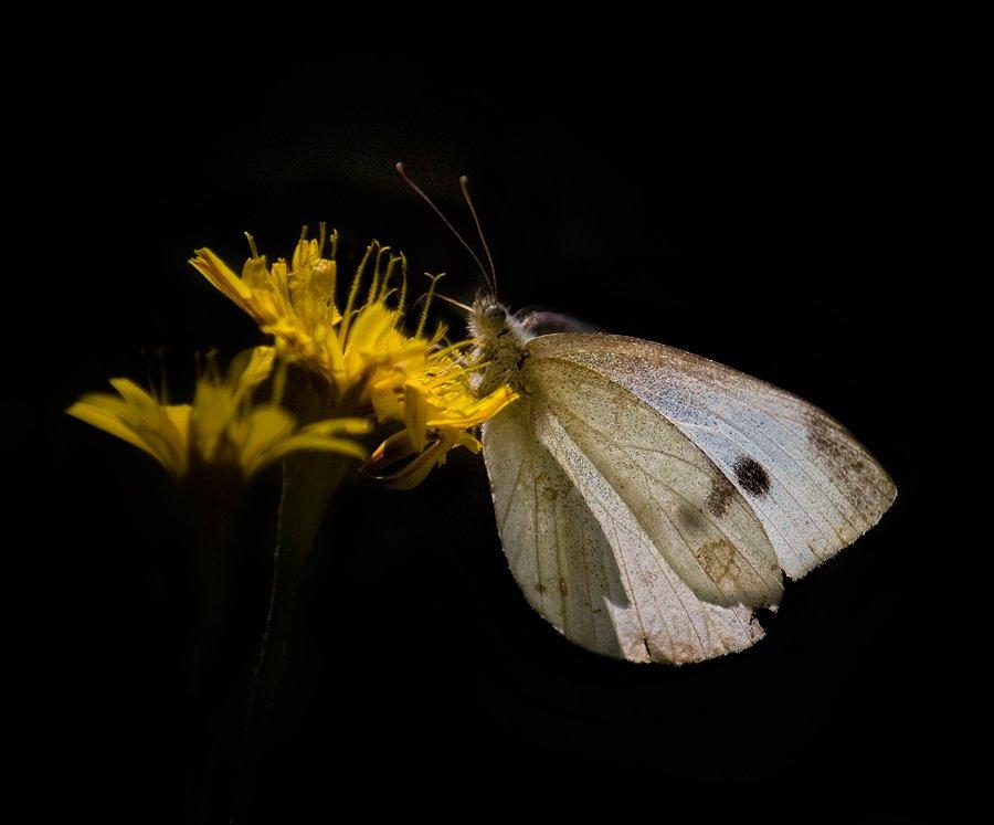 бабочка, одуванчик, Nateletro