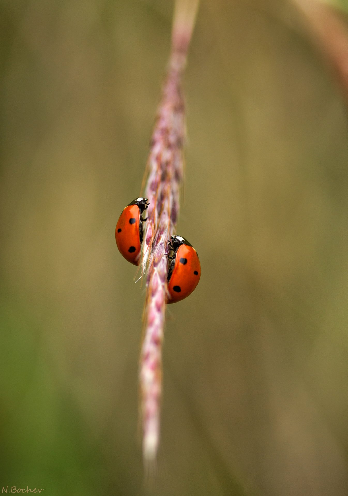 ladybugs,insect,macro,nature,natural, Naiden Bochev