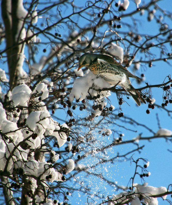 дрозд, зима, снег, боярышник, ягоды, White
