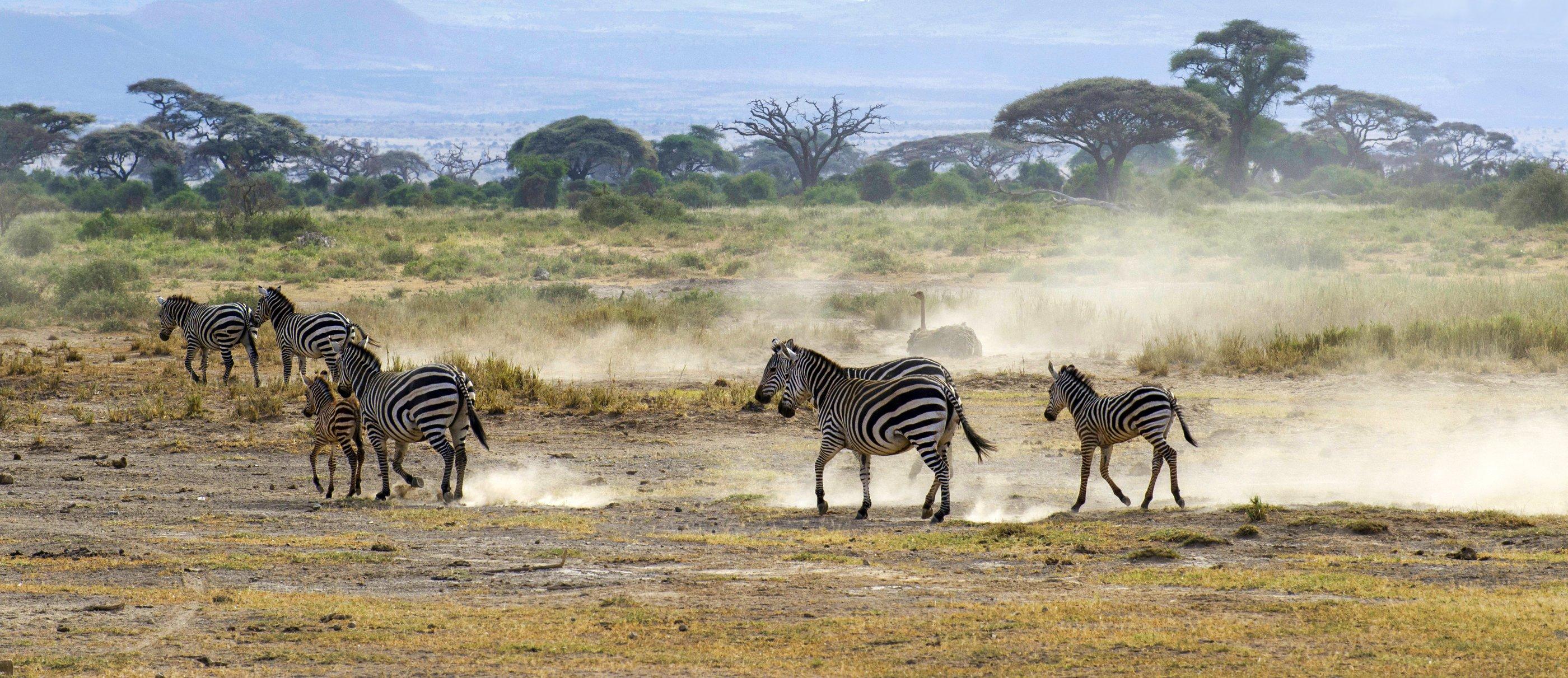 Зебры, саванна, кения, Марина Мудрова