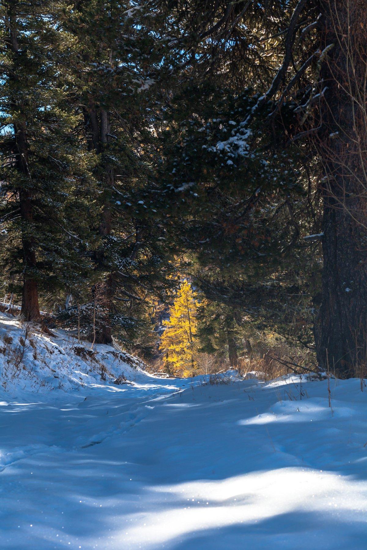 Алтай, горы, лес, кедр, лиственница, осень, зима, октябрь, снег, Иван Губанов