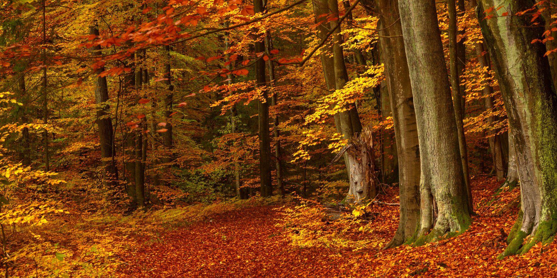 осень лес бук тропа, Кулинич Артём