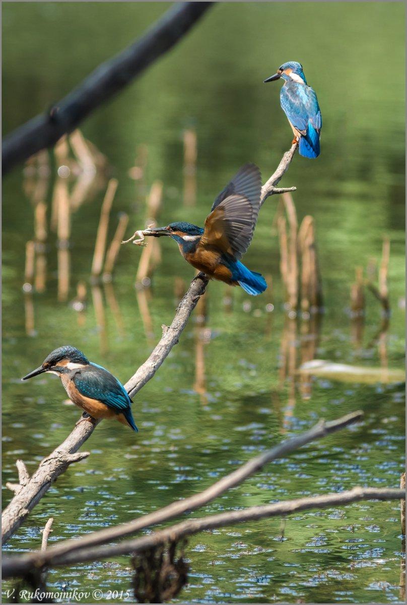 Birds, Kingfisher, Nature, Wild, Wildlife, Рукомойников Валентин