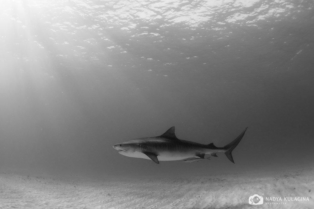 shark, tiger shark, tiger, sun, rays, nadeika