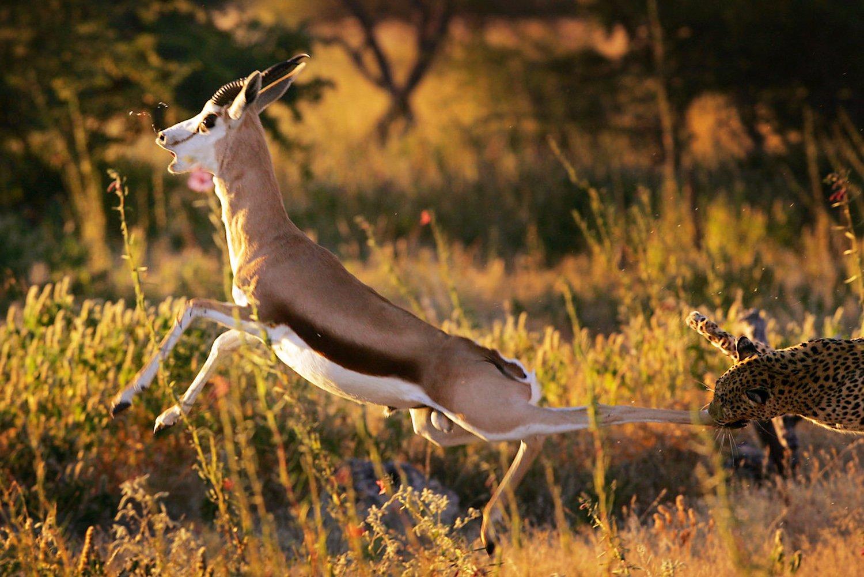 Africa, Alexeybushov, Etosha, Huntig, Leopard, Namibia, Nature, Safari, Wildelife, Африка, Дикая природа, Дикие животные, Лепард, Намибия, Природа, Сафари, Алексей Бушов