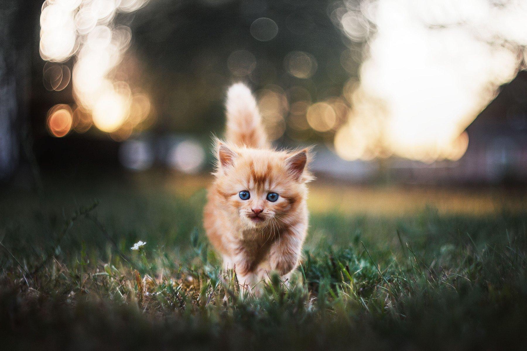 лето кот котенок рыжик деревня боке гелиос summer cat helios, Афиногенова Татьяна