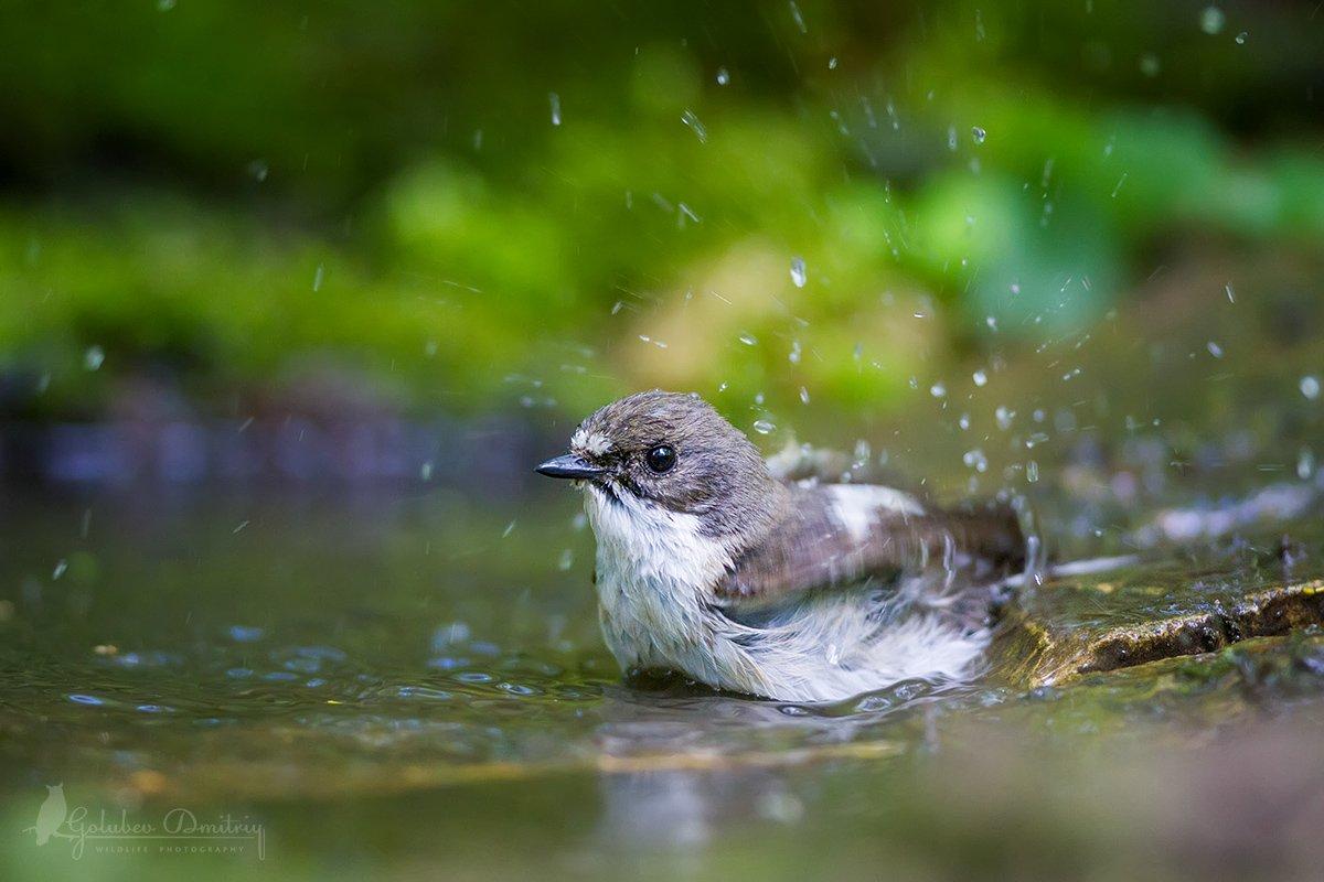 мухоловка, мухоловка-пеструшка, птицы, дикая природа, водопой, birds, wildlife, Голубев Дмитрий