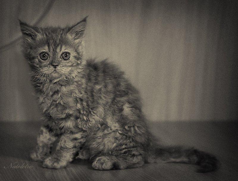 кошка, селкирк-рекс, котёнок, рыжик, Nateletro
