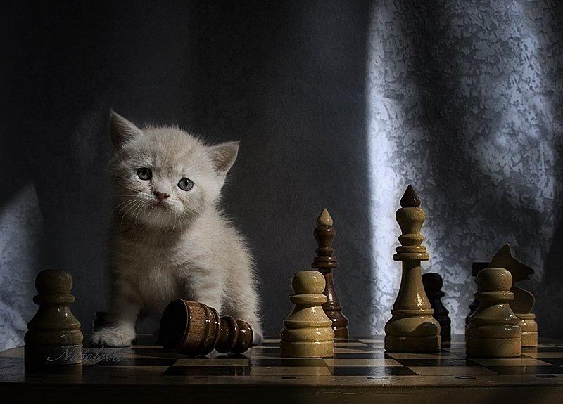 шахматы, котёнок, эльф, Nateletro