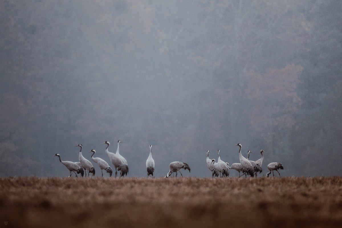 common crane, birds, wildlife,, Wojciech Grzanka