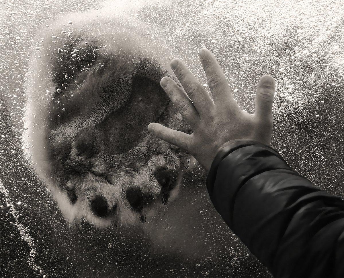Аквариум, Белый медведь, Вода, Кисть руки, Лапа, Медведь, Полярный медведь, Пузыри, Рука, Алла Соколова