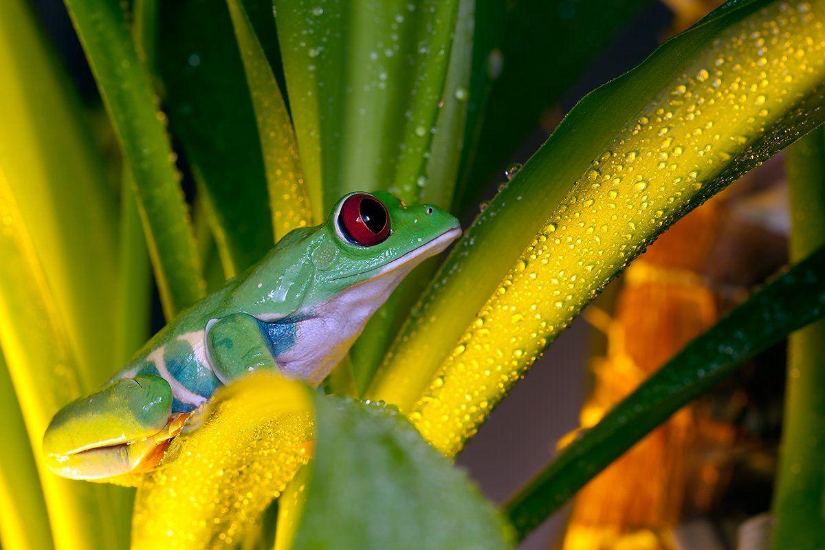 Agalychnis callidryas, Красноглазая древесная лягушка, Красноглазая квакша, Linas T