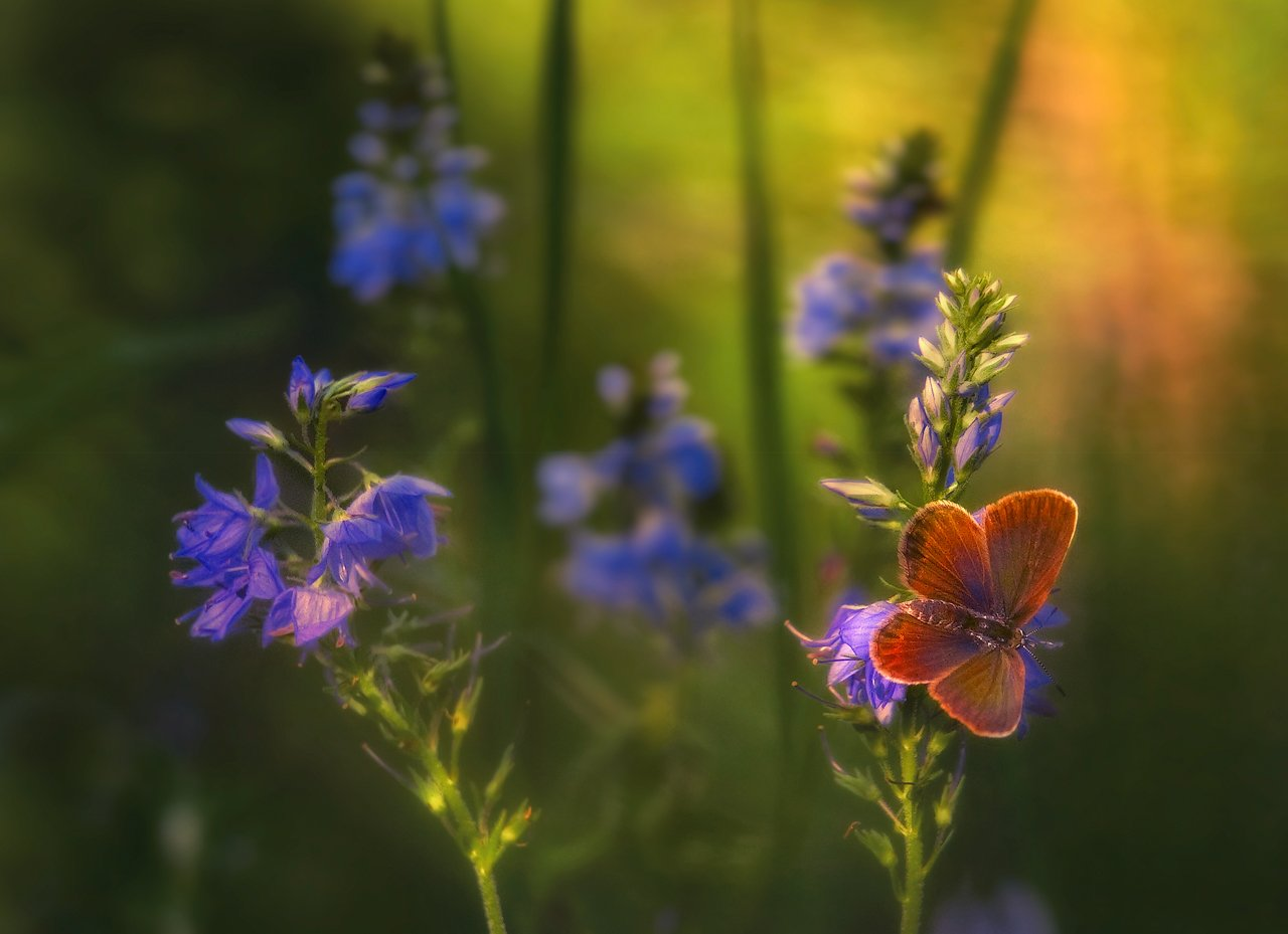 Бабочка, Вечер, Голубянка, Лето, Владимир
