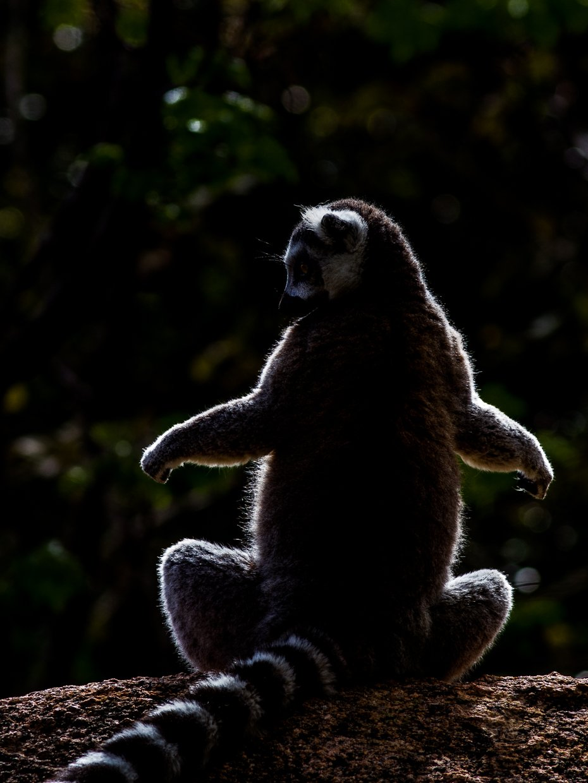 Мадагаскар, Лемур, Игаль Оз