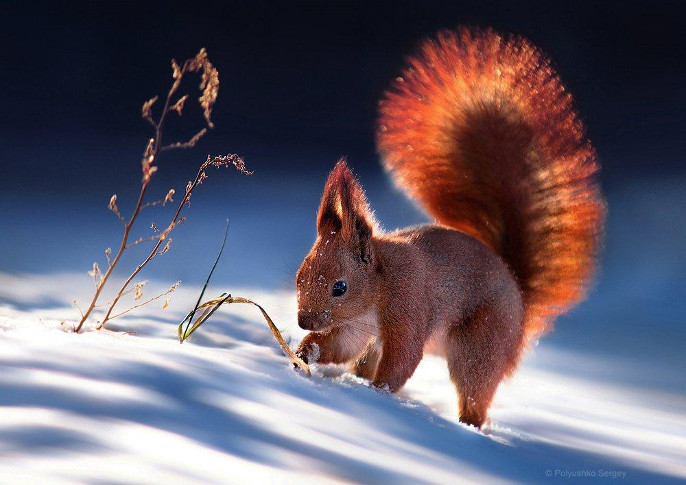 Белка и снег. Полюшко Сергей