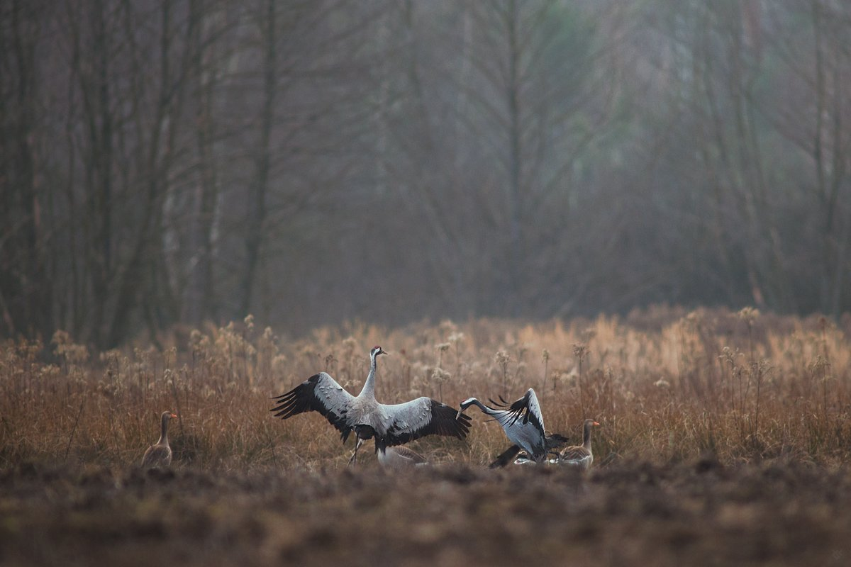 crane, gooses, wildlife, dance, dancing, breakdance, birds, Wojciech Grzanka