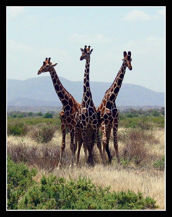girafas, Родислав Дрибен