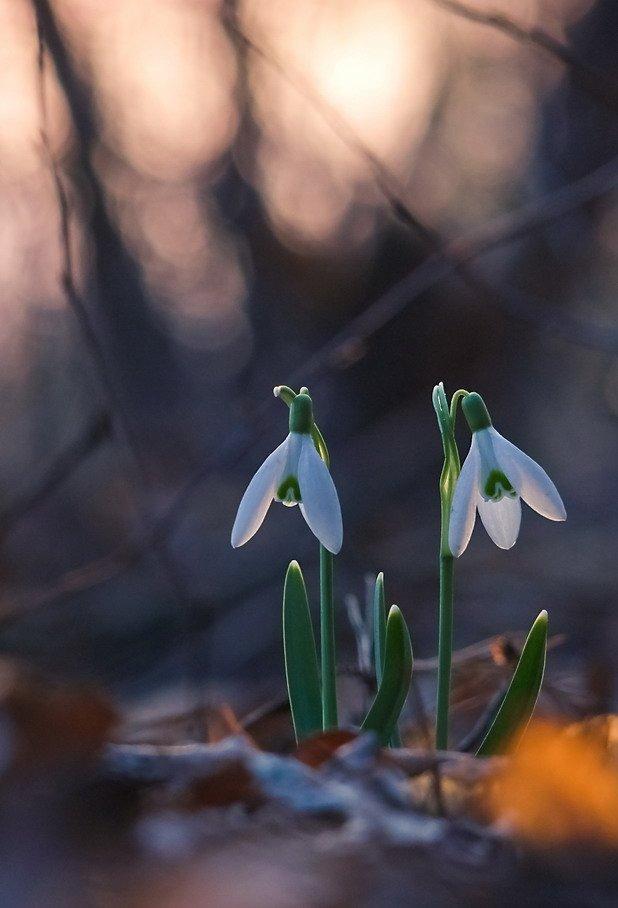Весна, Подснежник, Цветы, Марина Мищенко