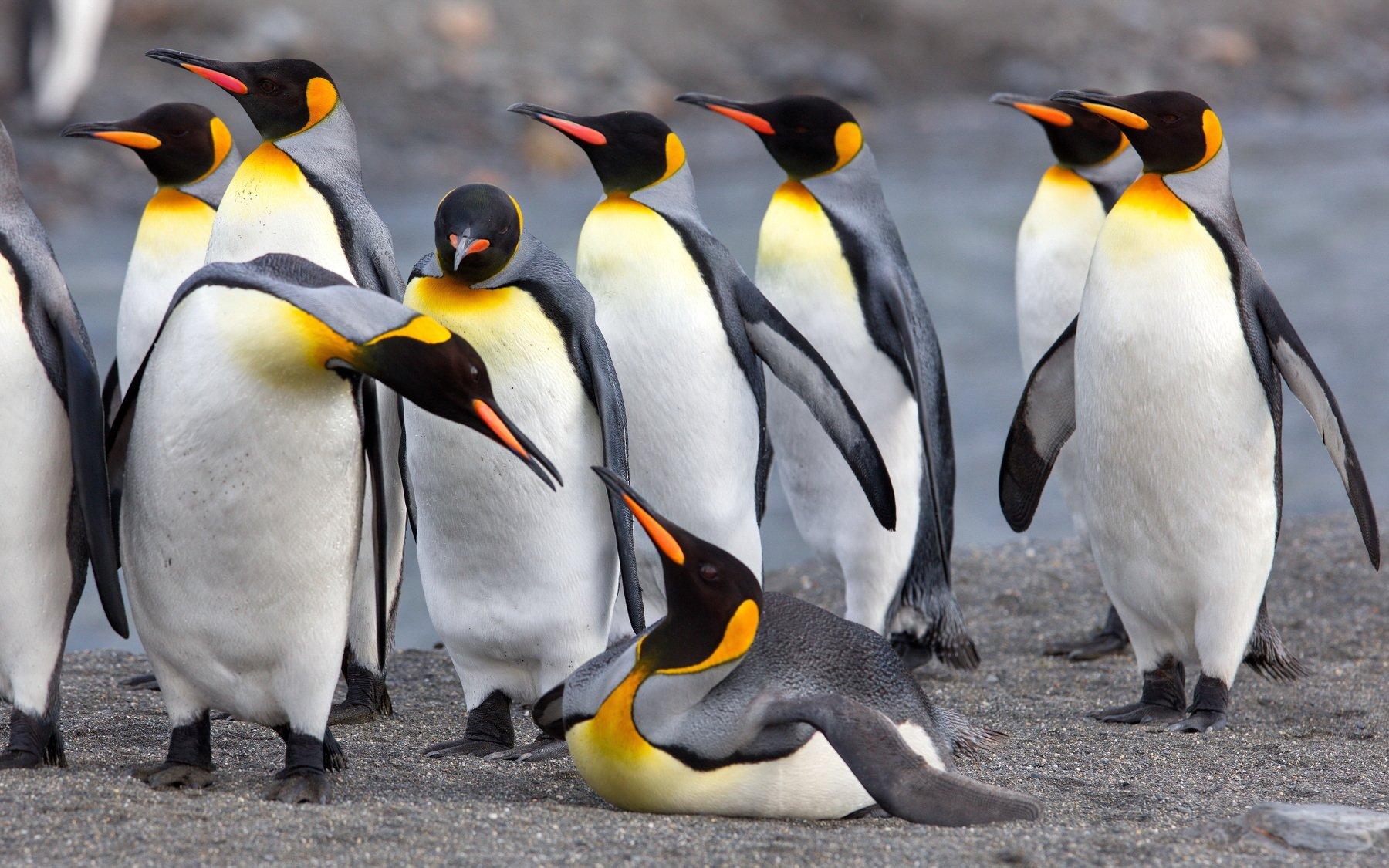 Пингвины птицы или животные