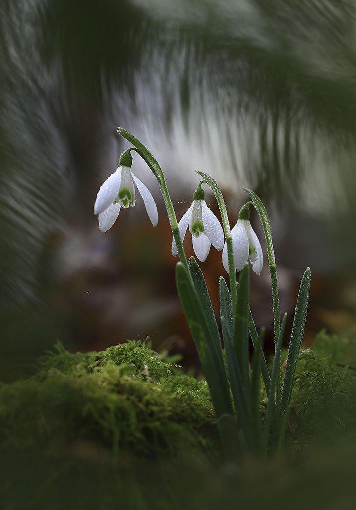 Весна,цветы,подснежники,лес,погода,рано,первые,пасмурно,макро,красивый,цвет,свет,фото,белый,зеленый,серый., Виктор