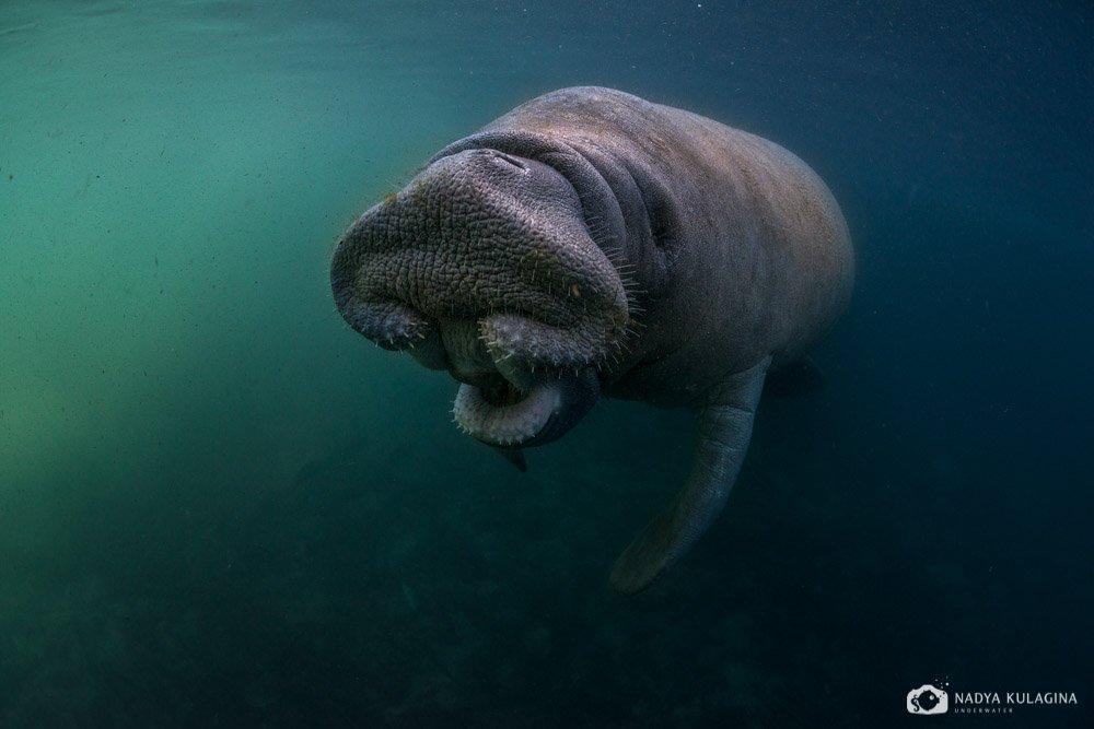 American, Endangered, Florida, Mammal, Manatee, Nature, Underater, Underwater, Американский, Американский ламантин, Животное, Животный мир, Ламантин, Млекопитающее, Подводная съемка, Подводное фото, Природа, Флорида, nadeika