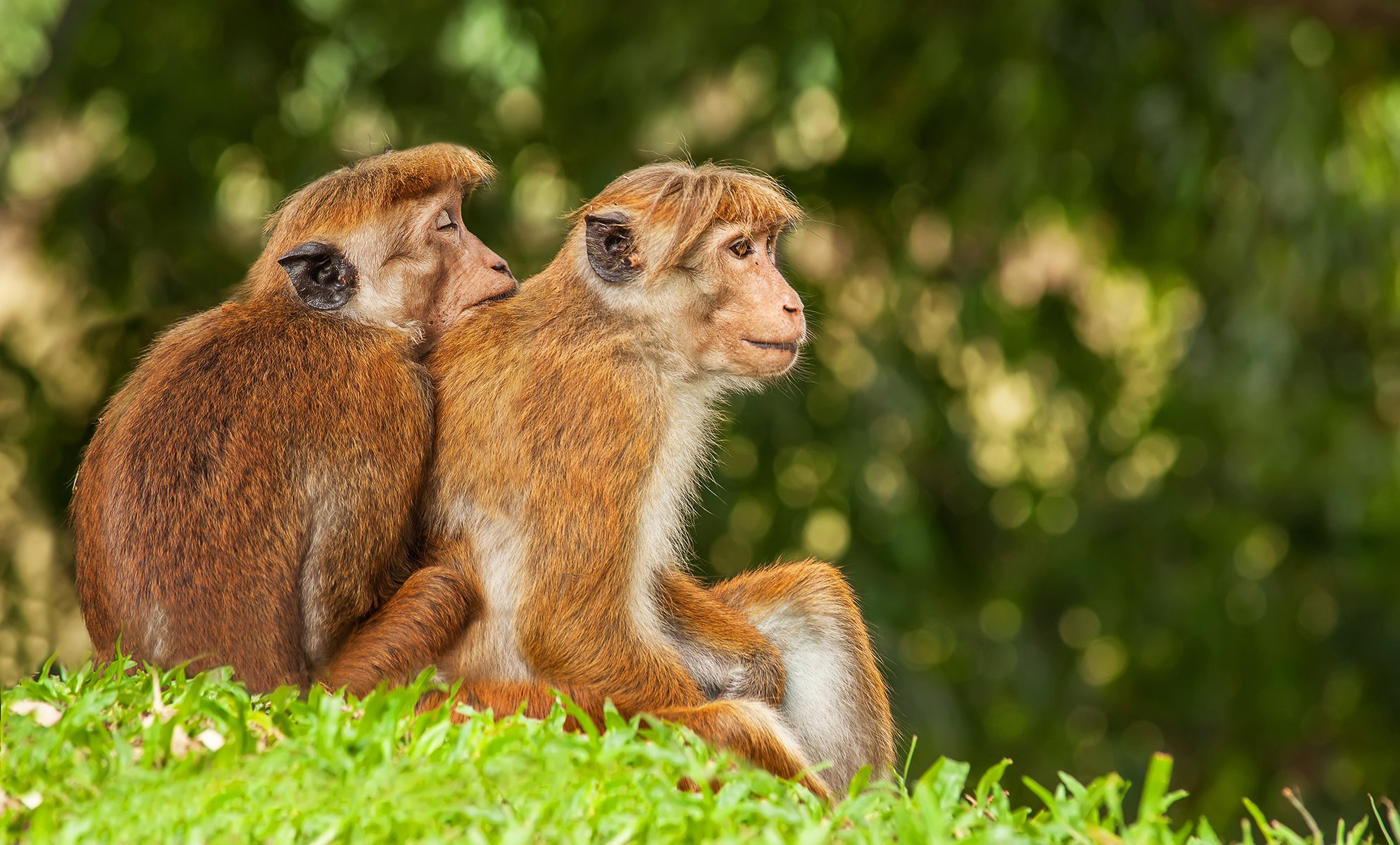 Шри Ланка, обезьяна, макака, Цейлон, животные, Дмитрий