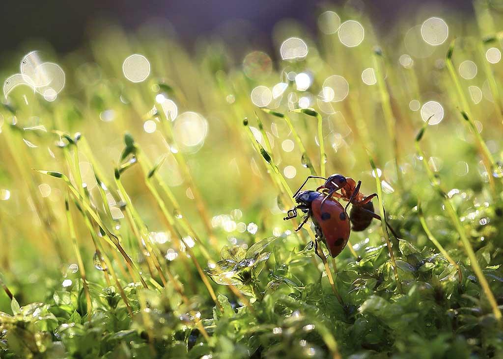 насекомые,жук,красный,маленький,панцирь,головка,муравуй,природа,макро,трава,лист,зеленый,кадр,фон,весна,хорошенький,флора,фауна,шестилапый,усики,черный,колючка,растение,окружающий мир,изучать, Виктор