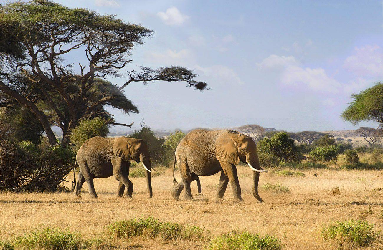 слоны, саванна, сафари. двое, парочка, Марина Мудрова