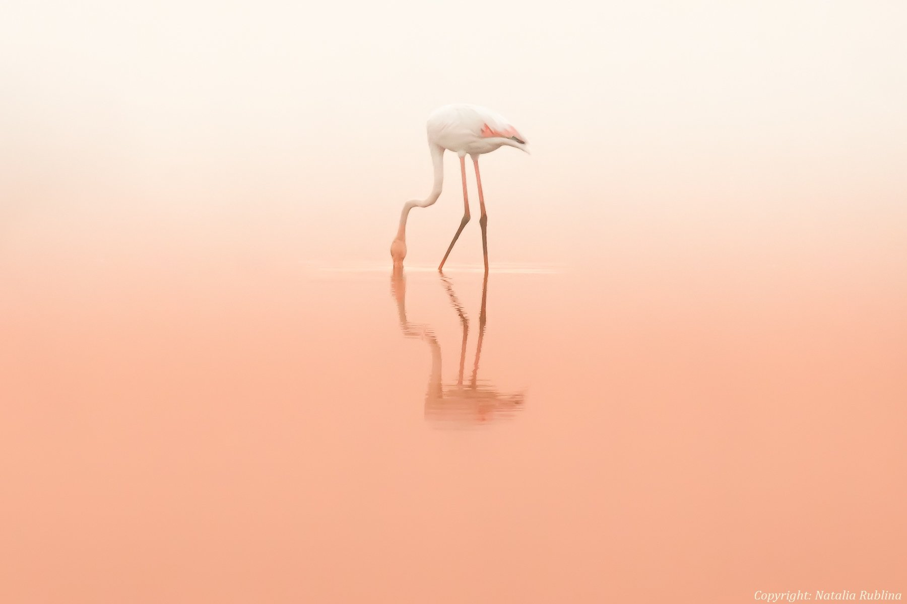 Животные, Природа, Птицы, Розовый рассвет, Тишина, Фламинго, Наталья Рублина