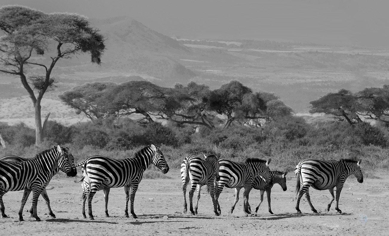 зебры, саванна, Африка, Кения, Марина Мудрова