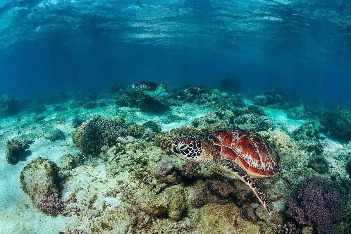 черепаха, филиппины, подводное, море, кооралл, Нарчук Андрей