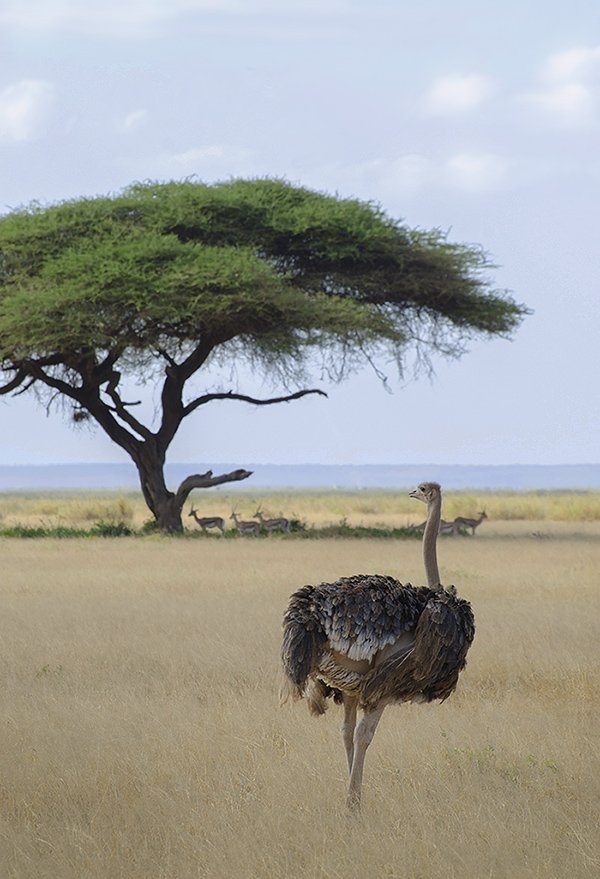 саванна, кения, африка, сафари, страус, птица, Марина Мудрова