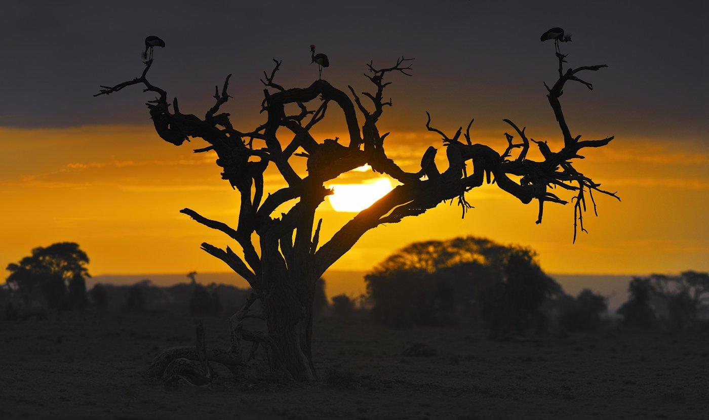 рассвет, амбосели, африка, саванна, венценосный, журавль, дикие, птицы, Николай Зиновьев